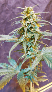 Cherry Wine x Cherry Blossom Feminized Seeds