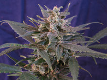 Load image into Gallery viewer, Cherry x Cherry Blossom Feminized Seeds