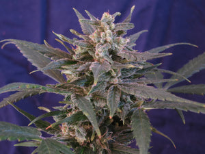 Cherry x Cherry Blossom Feminized Seeds