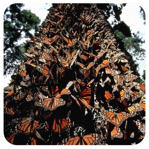 Tree covered in monarch butterflies