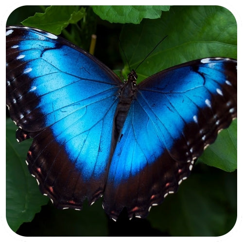 The Rio Claro Blue Morpho Butterfly