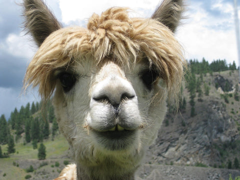Llamas and Alpacas Are More Similar Than You Might Think