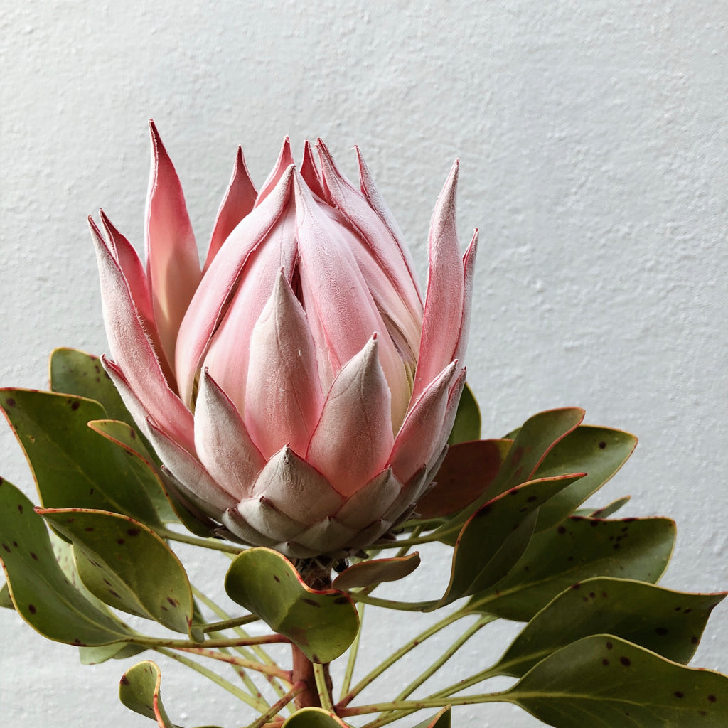 Pink King Protea