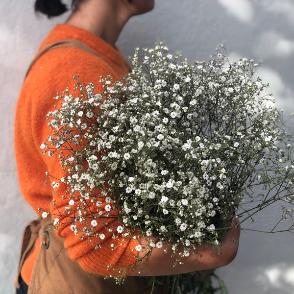 Baby's Breath (Gypsophila) - White