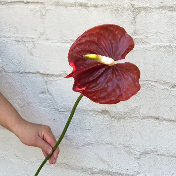 Order Anthuriums Online