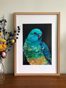 Banjo the Red Rumped Parrot Print