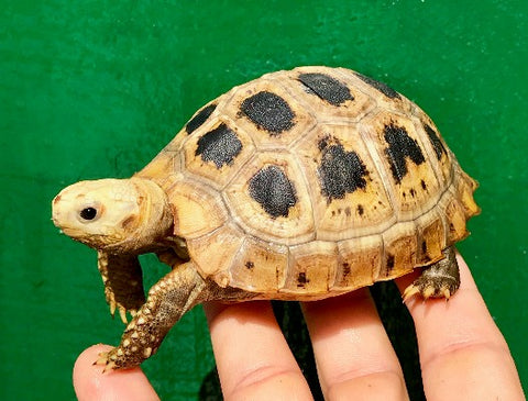 We occaisionally have one or two Hatchling Elongated Tortoises with minor extra shell scutes for sale