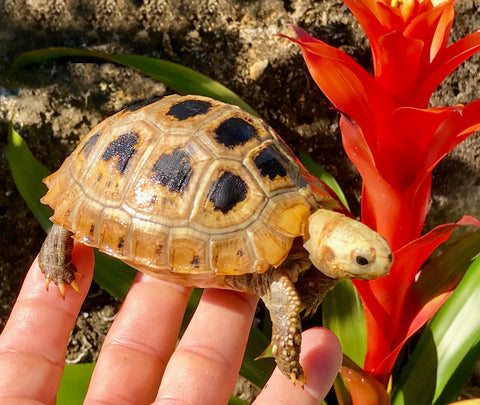 Elongated Tortoise Yearlings For Sale
