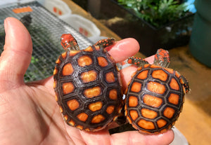 High Orange Cherry Head Red Footed Tortoise Well Started Hatchlings