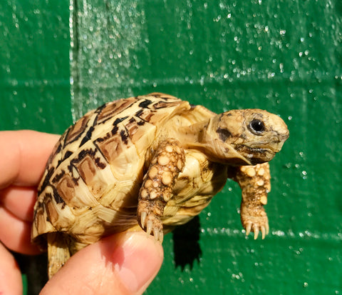 Leopard Tortoise, Well Started 18 Week Old