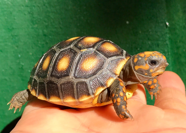 The Tortoise Source, the best place to buy Tortoises for sale