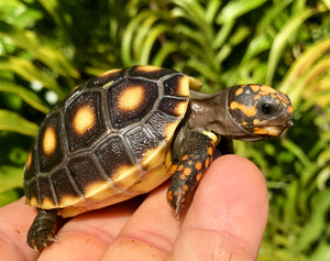 "4"" Red Foot Tortoise"