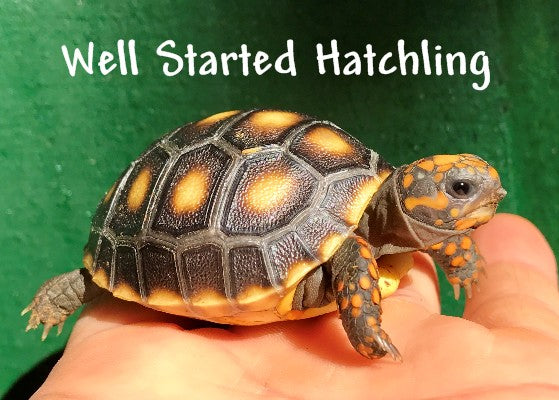 Red Footed Tortoise, Well Started Hatchling
