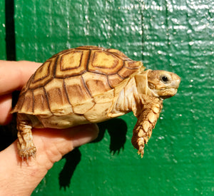 Sulcata Tortoises, Well Started Hatchlings with Extra Scute