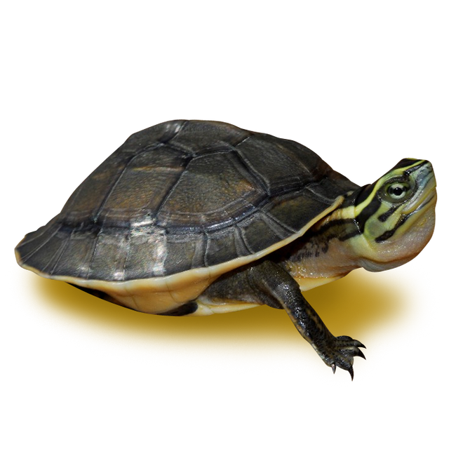 Turtles - Box Turtles - Asian Box Turtle