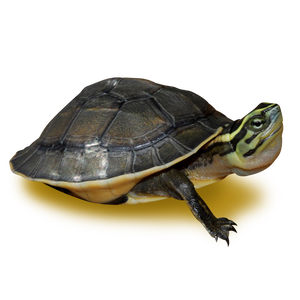 Asian Box Turtle
