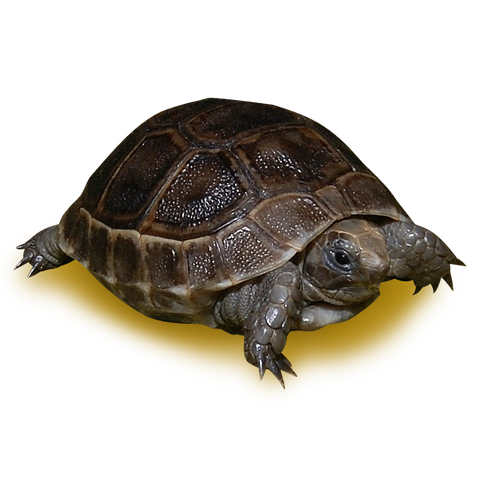 Black Greek Tortoise