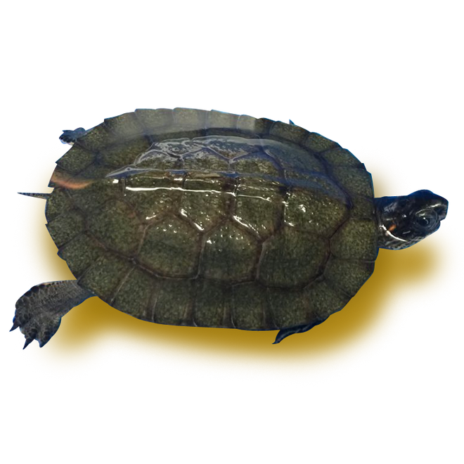 Turtles - Wood Turtles - Vietnamese Wood Turtle