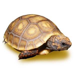 Blonde Red Footed Tortoise