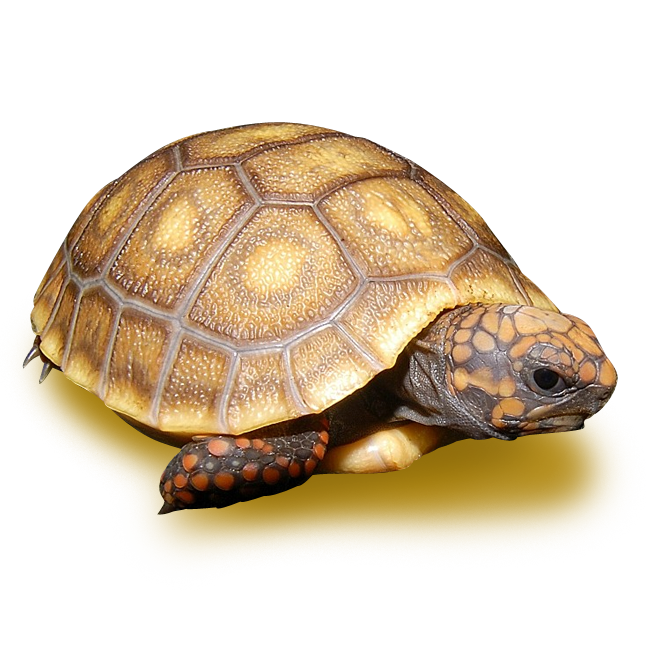 Tortoises - Red Footed Tortoise Color Morphs and Anomolies - Blonde Red Footed Tortoise