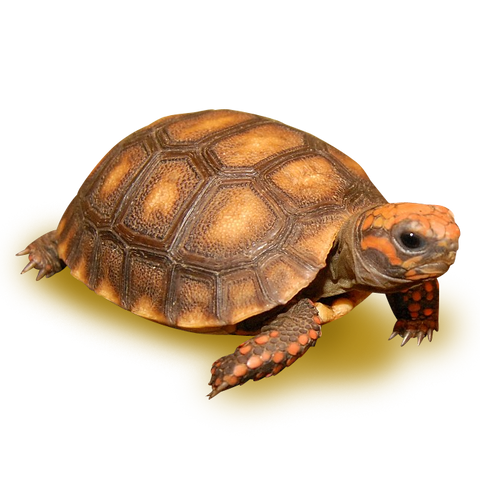 Bolivian Cherry Headed Red Footed Tortoise