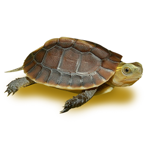Chinese Golden Box Turtle