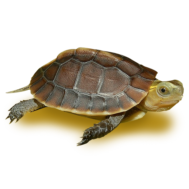Turtles - Box Turtles - Chinese Golden Box Turtle