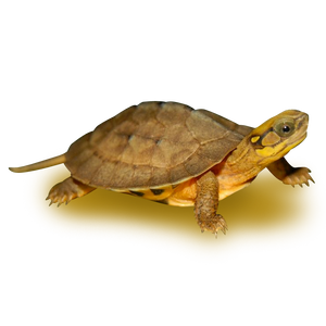 Chinese Golden Coin Box Turtle