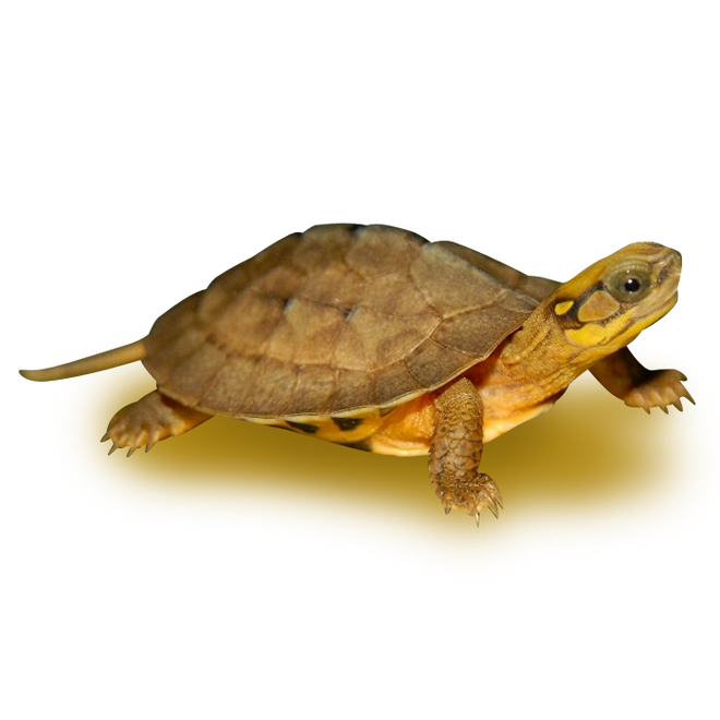 Turtles - Box Turtles - Chinese Golden Coin Turtle