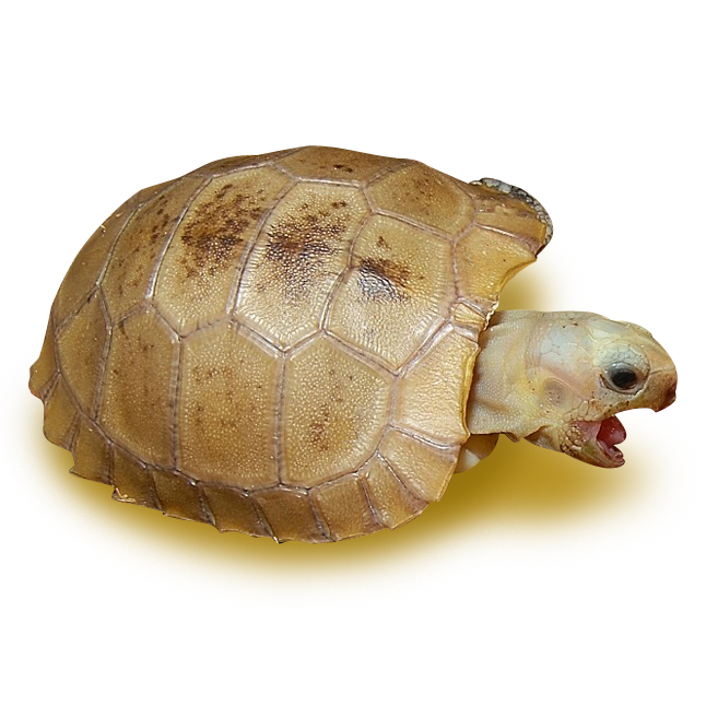 Tortoises - Elongated Tortoise