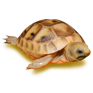 Golden Greek Tortoise