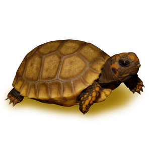 Golden Yellow Footed Tortoise
