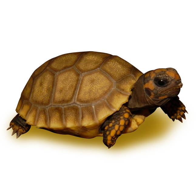 Tortoises - Yellow Footed Tortoise Color Morphs - Golden Yellow Footed Tortoise