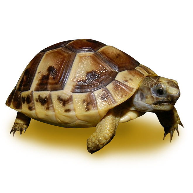 Tortoises - Greek Tortoise
