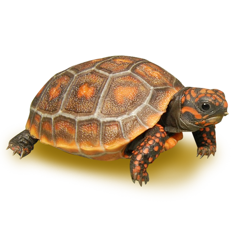 High Color Red Footed Tortoise