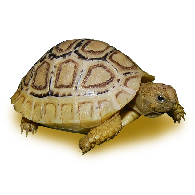 Tortoises - Leopard Tortoise Color Morphs and Anomolies - High White Leopard Tortoise