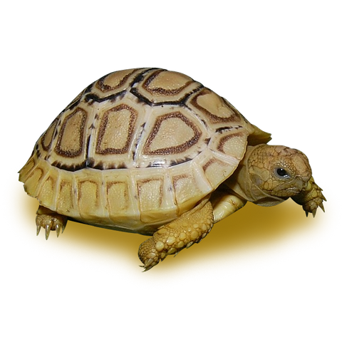 High White Leopard Tortoise