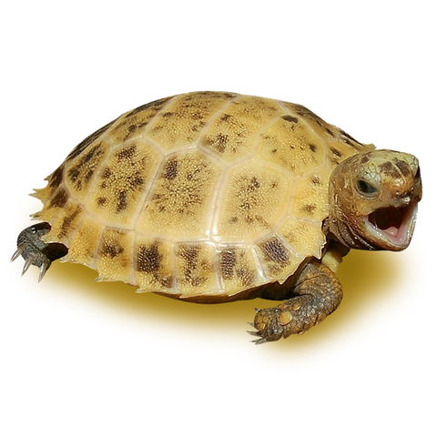 High Yellow Forsten's Tortoise