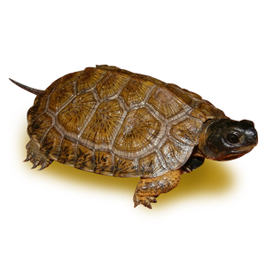 High Yellow North American Wood Turtle