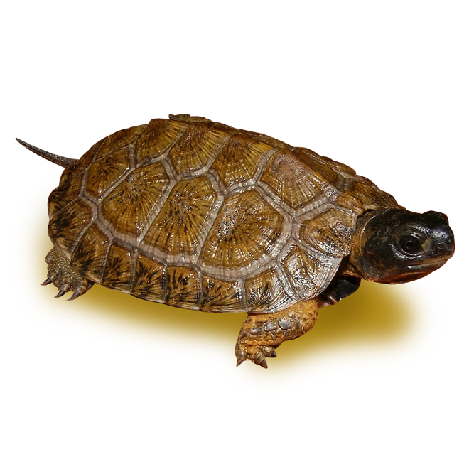 Turtles - Wood Turtles - High Yellow North American Wood Turtle