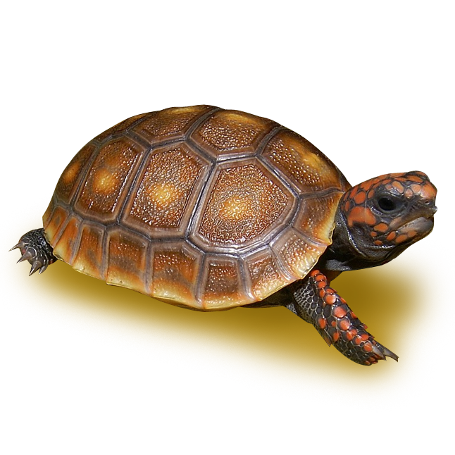 Honey Colored Red Footed Tortoise