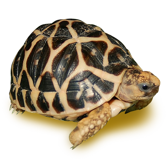 Tortoises - Indian Star Tortoise