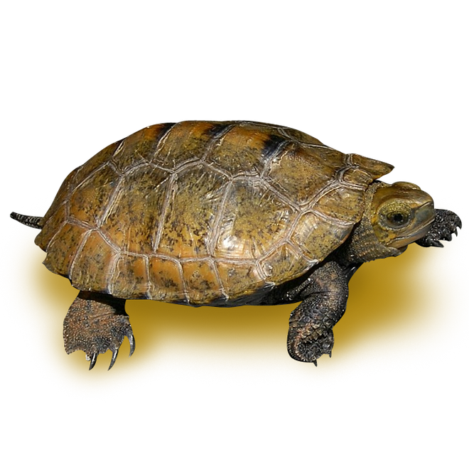 Turtles - Wood Turtles - Black Wood Turtle