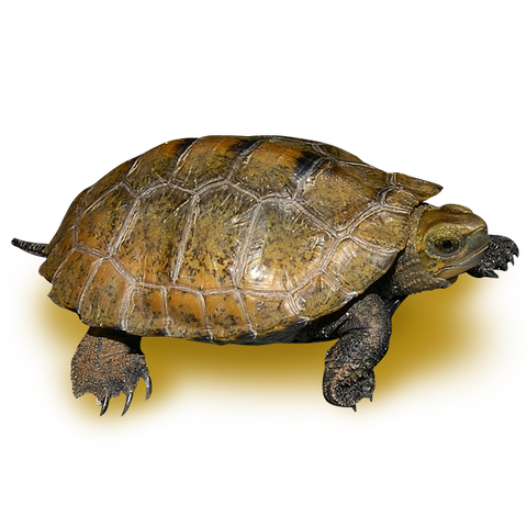 Japanese Wood Turtle