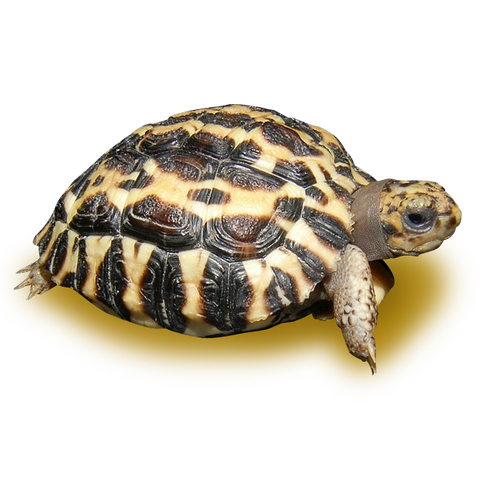 Madagascar Flat Shelled Spider Tortoise