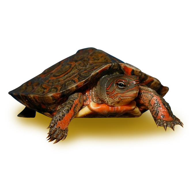 Turtles - Wood Turtles - Mexican Red Wood Turtle
