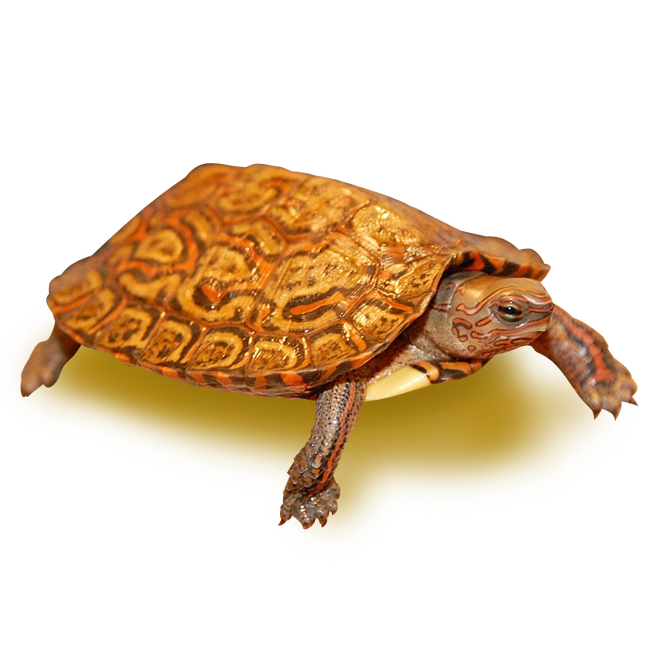Turtles - Wood Turtles - Painted Wood Turtle