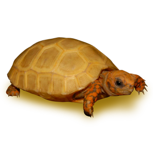 Platinum Yellow Leucistic Red Footed Tortoise