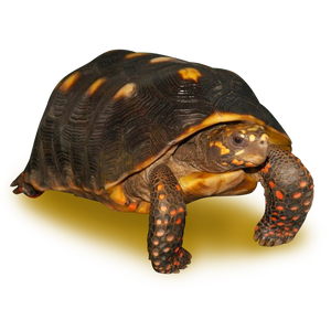 Adult Red Footed Tortoise