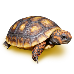 "3""  Red Footed Tortoise"
